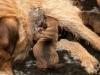 Den største tispa som nok blir lys grizzle