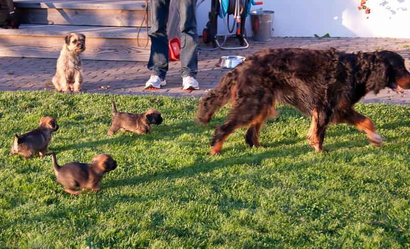 Ikke redd for større hund nei, Tuva følger med i bakgrunnen
